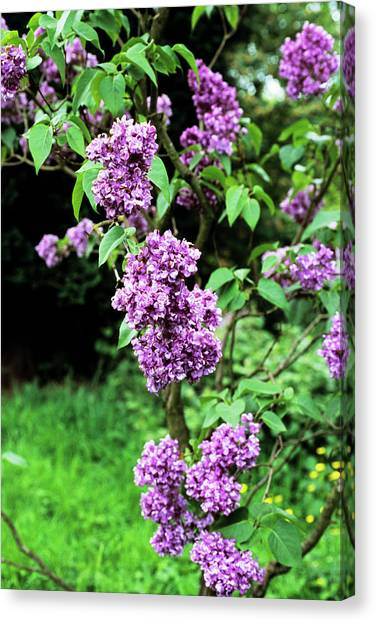 Lilac Bush Canvas Print - Mrs Edward Harding Lilac Flowers by Adrian Thomas/science Photo Library
