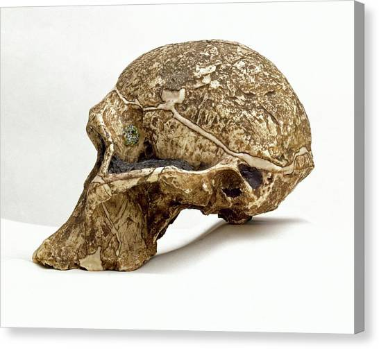 Steak Canvas Print - Mrs Ples Skull by Natural History Museum, London/science Photo Library