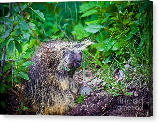 Mrs. Porcupine  Canvas Print by Chris Heitstuman