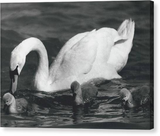 Mrs, Swan And Her Kids Enjoy Spring - Sun Canvas Print by Retro Images Archive