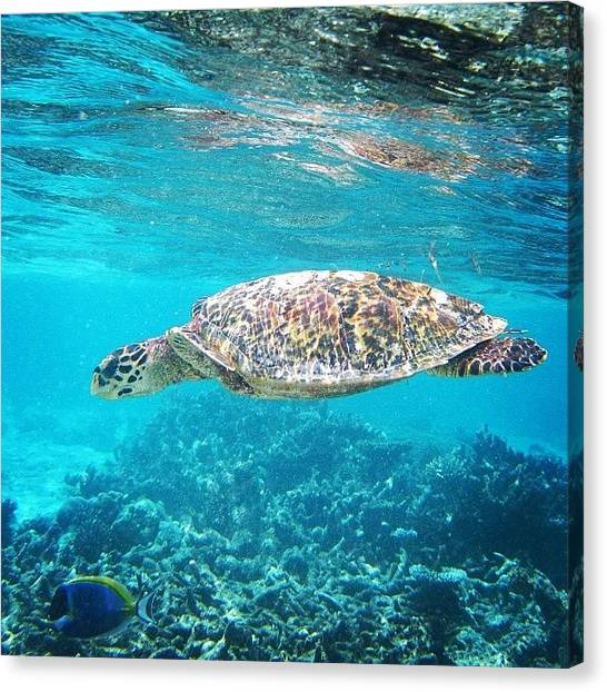 Sea Turtles Canvas Print - #mrturtle #maldives #sealife #sea by Mike Fletcher