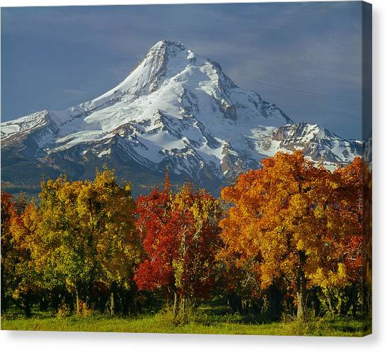 1m5117-mt. Hood In Autumn Canvas Print