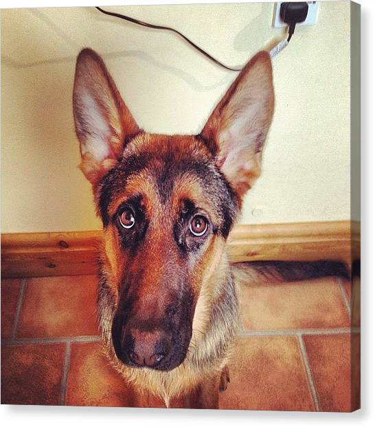 German Shepherds Canvas Print - Mugshot [prince] #gsd #gsdlove #german by Sean OCallaghan