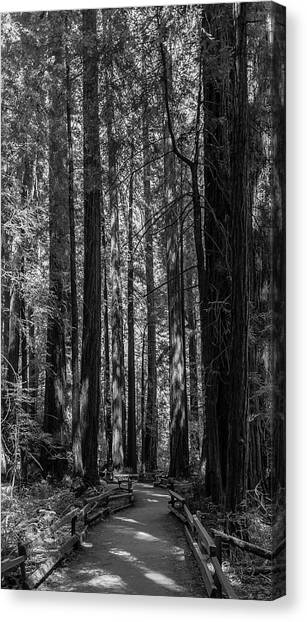 Muir Woods Giants Canvas Print