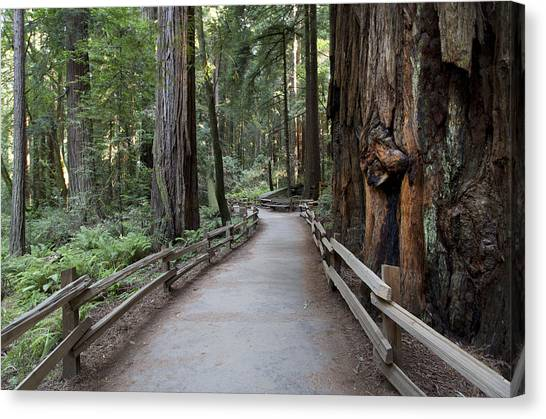 Redwood Forest Canvas Print - Muir Woods National Park Service by Carol M Highsmith