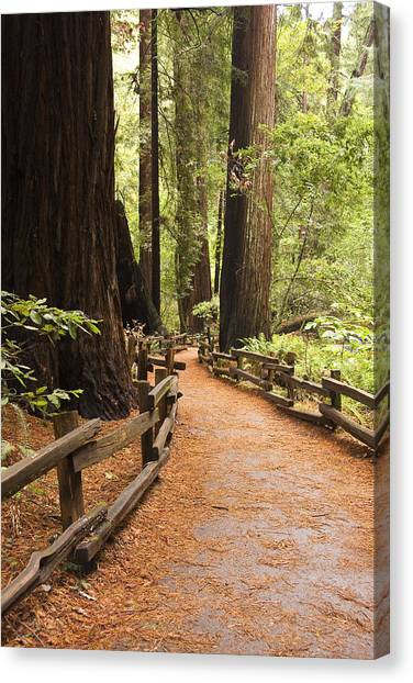Muir Woods Trail Canvas Print