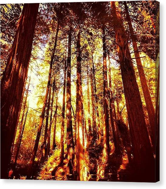 Redwood Forest Canvas Print - #muirwoods #redwoods #forest by Bryan ONeill
