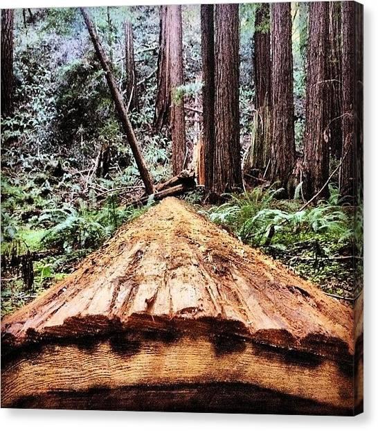 Redwood Forest Canvas Print - #muirwoods #sanfrancisco #california by Bryan ONeill