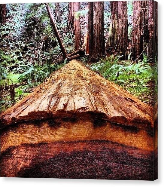 Redwood Forest Canvas Print - #muirwoods #sanfrancisco #plpix by Bryan ONeill
