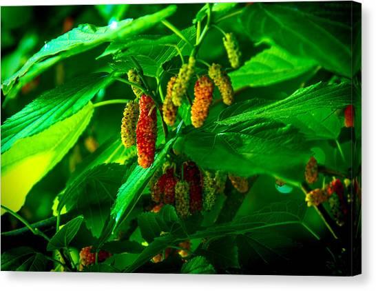 Mulberries - Fruit - Berries Canvas Print by Barry Jones