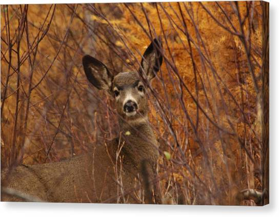 Mule Deer Doe Canvas Print