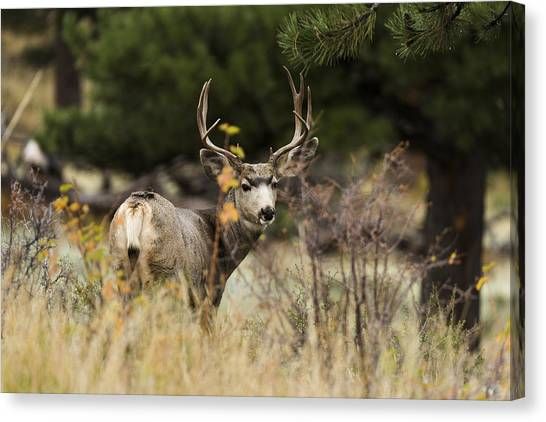 Colorado Rockies Canvas Print - Mule Deer I by Chad Dutson