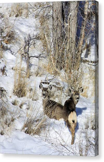 Mule Deer In The Canyon Canvas Print