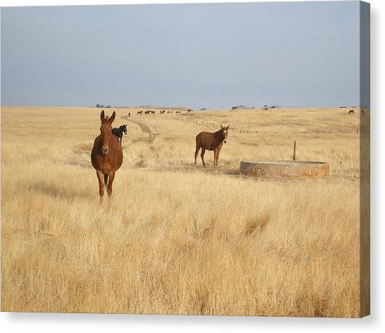Mules In Gold Grass Canvas Print