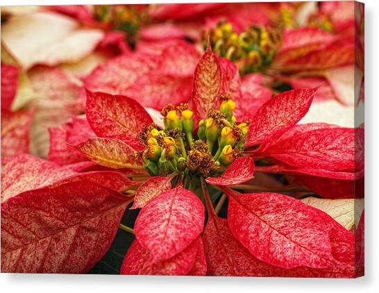Canvas Print - Multi Colored Poinsettias by Donna Pagakis