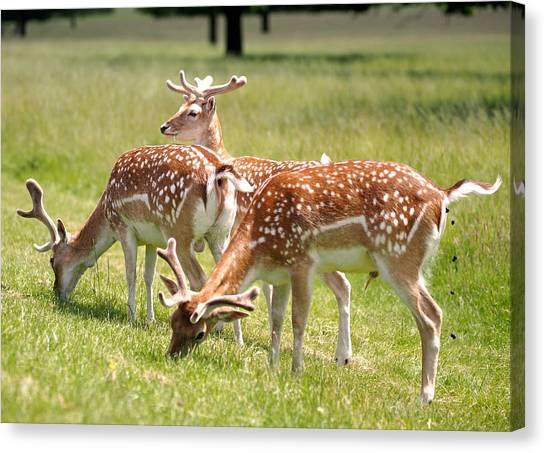Canvas Print - Multitasking Deer In Richmond Park by Rona Black