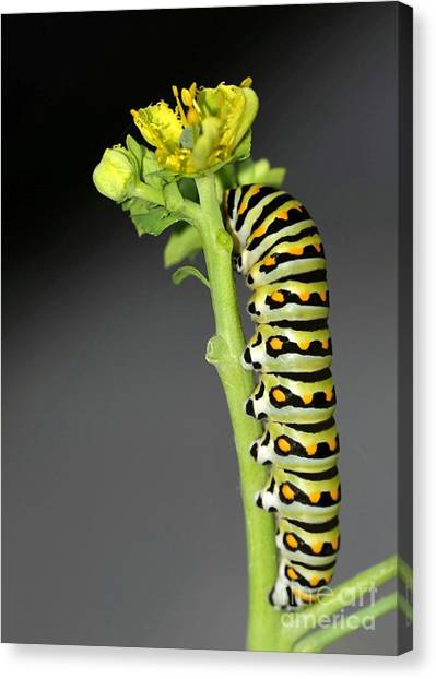 Caterpillers Canvas Print - Munching Away by Sabrina L Ryan