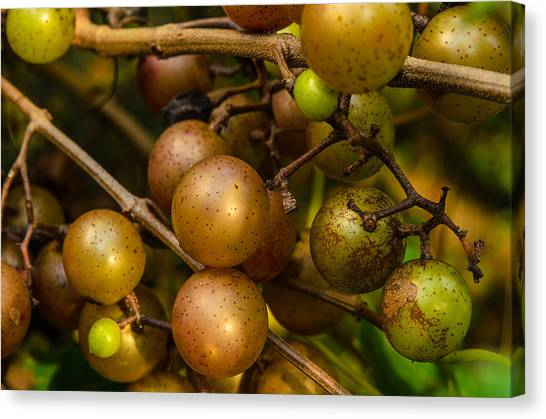 Muscadine Grapes Canvas Print
