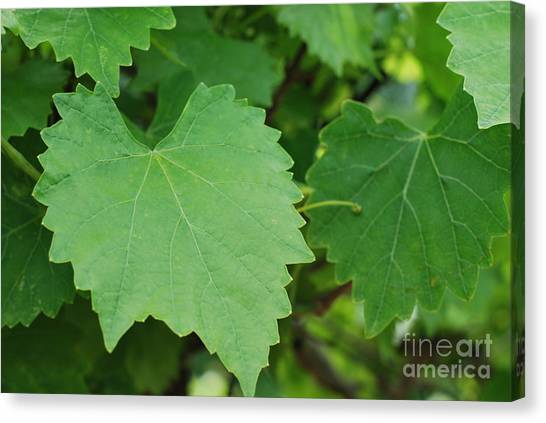 Muscadine Leaves Canvas Print by Gayle Melges