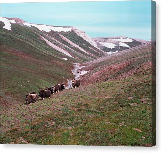 Tundras Canvas Print - Musk Oxen by Simon Fraser/science Photo Library