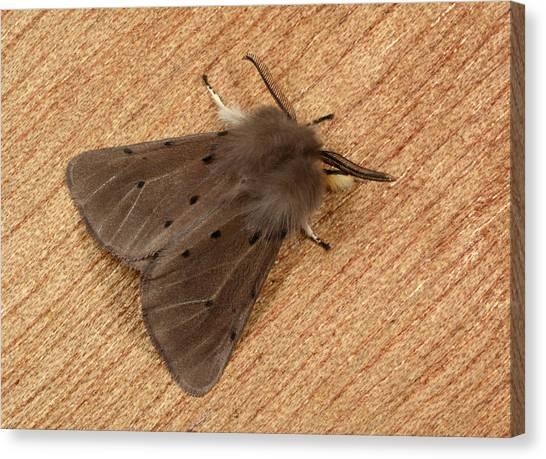 Muslin Moth Canvas Print by Nigel Downer