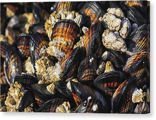 Saltwater Life Canvas Print - Mussels And Barnacles by Mark Kiver