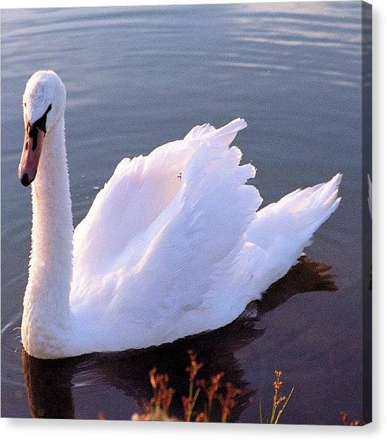 Metallic Canvas Print - Mute Swan In Setting Sunlight by Tony Webb