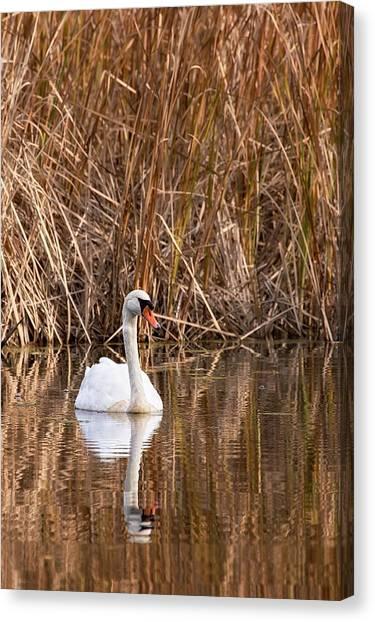 Mute Swan Reflection Canvas Print