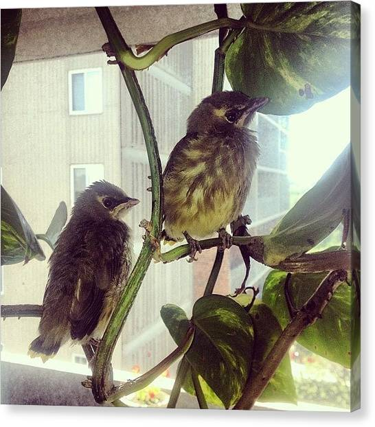 Sparrows Canvas Print - My 2 Dewdrops🐥🐥 #socute #baby by Charlotte Roach