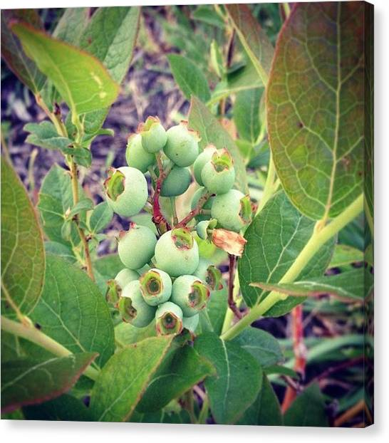 Food And Beverage Canvas Print - My Blueberries Have Endured Despite The by Amber Flowers