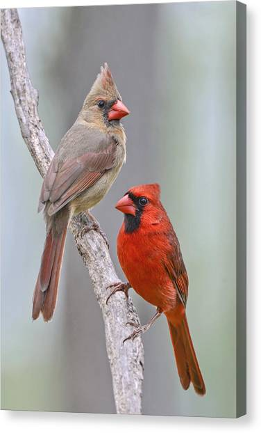 My Cardinal Neighbors Canvas Print
