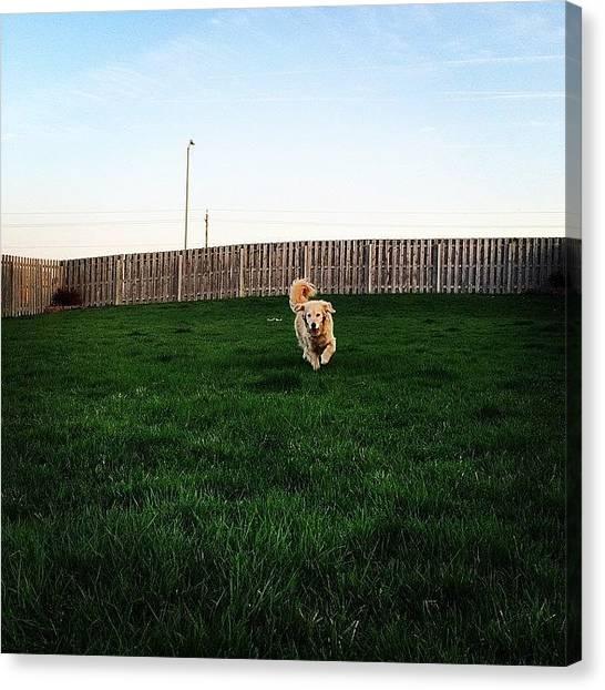 Golden Retrievers Canvas Print - Running Dog by Jonathan Keane