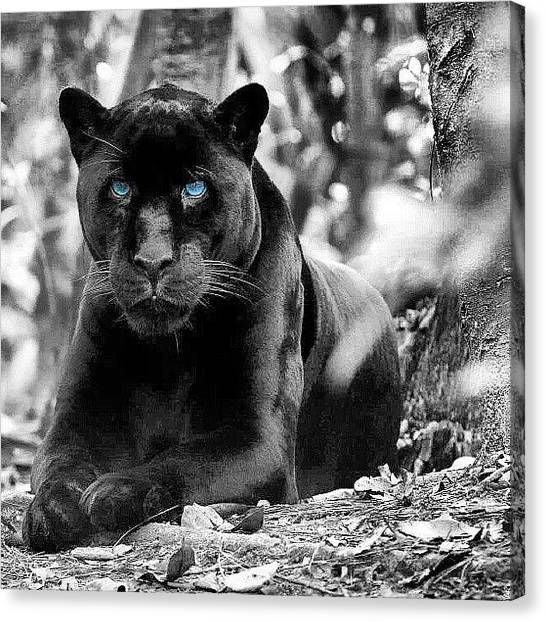 Panthers Canvas Print - My Fav Animal #blackcat #rp #panther by Brandon Fisher