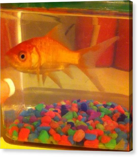 Goldfish Canvas Print - My First Instagram Video! :) #mybaby by Noel  Peceu