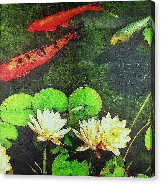 Koi Canvas Print - My Fish Buddies. Digital Photo From The by Tim Chandler