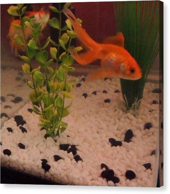 Tanks Canvas Print - My Fish Going Crazy This Morning by Megan Shuttlewood