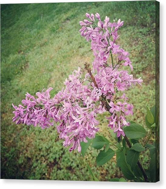 Gardens Canvas Print - My Lilac Is Blooming. It's Not Exactly by Amber Flowers