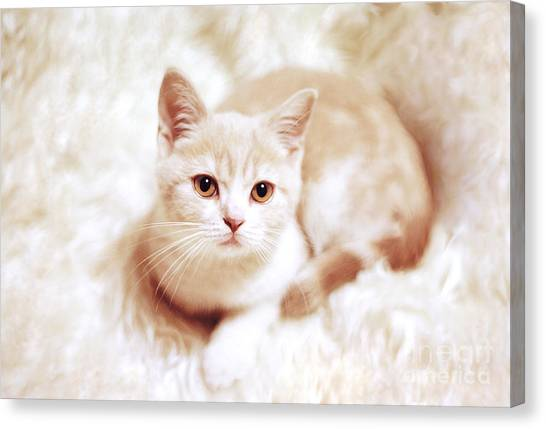 Scottish Folds Canvas Print - My Master by Aiolos Greek Collections