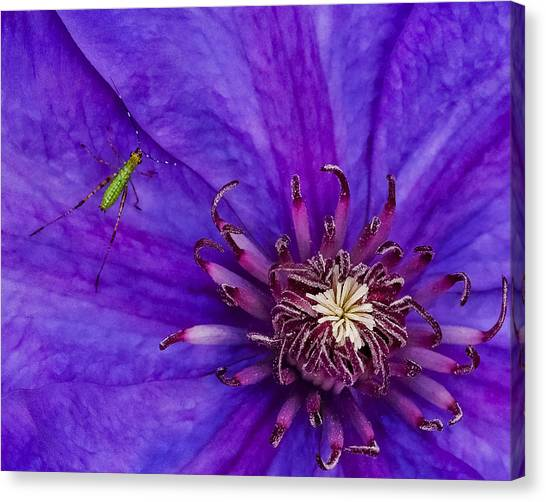 My Old Clematis Home Canvas Print