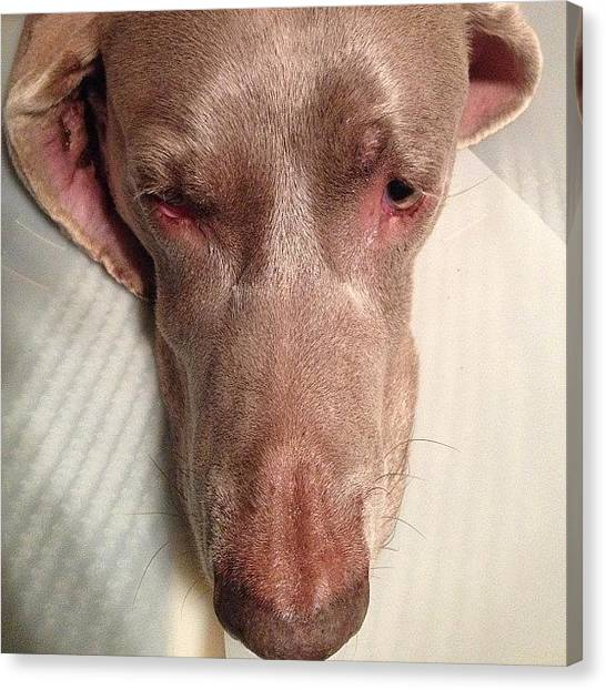 Weimaraners Canvas Print - My Poor Boy #prince In His Cone by Toni Hamel