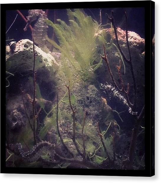 Seahorses Canvas Print - My Sea Horses <3 by Shobha Nagaprasanna