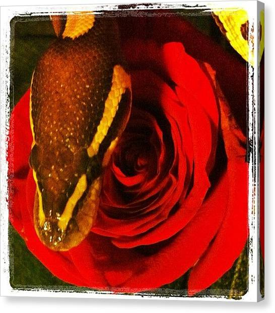 Pythons Canvas Print - My Valentines 💘  #ballpython #pet by Nicole Jones