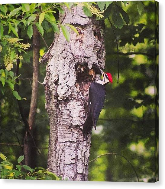 Woodpeckers Canvas Print - My Yard Is Full Of #amazing #wildlife by Joseph Vumbaco