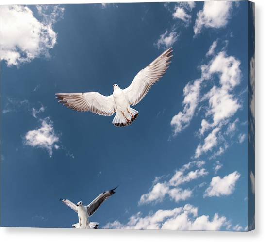 Myanmar, Inle Lake, Seagulls Inflight Canvas Print by Martin Puddy