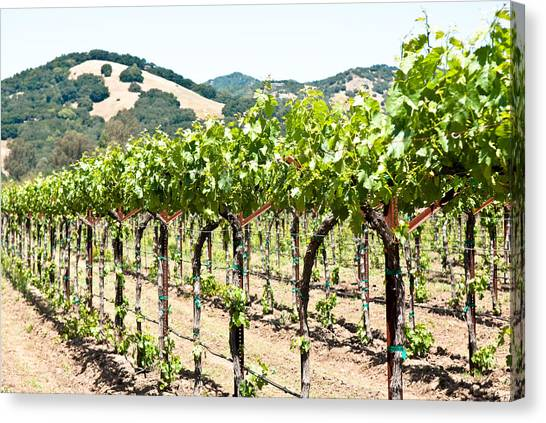 Napa Vineyard Grapes Canvas Print