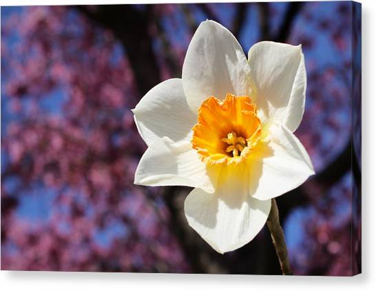 Narcissus And Cherry Blossoms Canvas Print