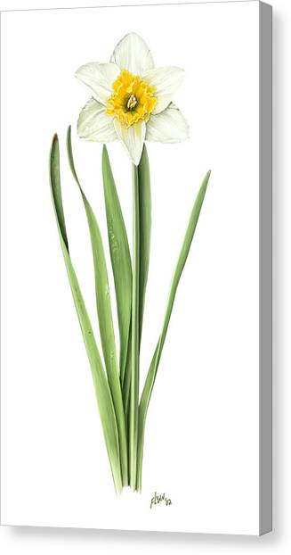 Narcissus Orange Bride Canvas Print