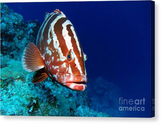 Spearfishing Canvas Print - Nassau Grouper by Carey Chen