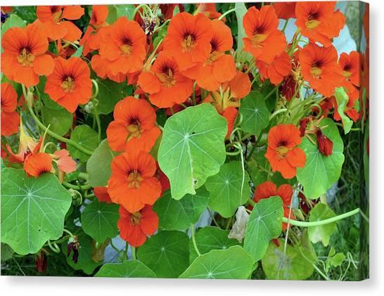 Nasturtiums Canvas Print - Nasturtium (tropaeolum Sp.) Flowers by D C Robinson