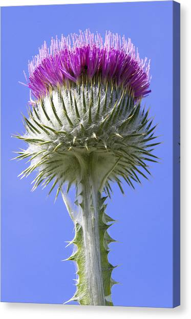 National Flower Of Scotland Canvas Print